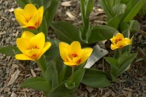 La plus belle de toutes les fleurs est la fleur de la liberté (Jean Fischart)