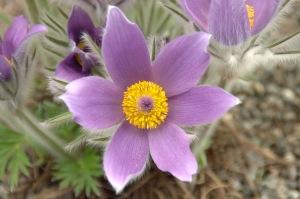 La vie est une fleur. L'amour en est le miel (Victor Hugo)