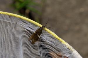 Un papillon s'est retrouvé soudainement dans le filet de Marc-André