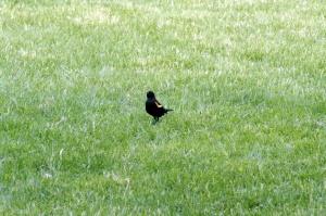 Les Carouges à épaulettes sont des oiseaux chanteurs de taille moyenne. Ils mesurent de 17 à 23 centimètres environ et pèsent de 32 à 77 grammes
