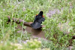 Le carouge à épauletttes marche, court ou sautille, tout en fouillant le sol, pour trouver sa nourriture