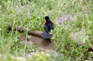 La femelle pond de trois à cinq œufs, habituellement quatre, d'un vert bleuté parsemé de taches