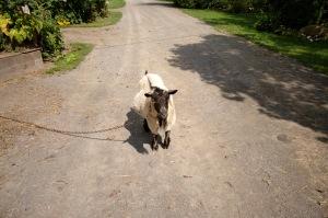 La petite chèvre s'est flanquée au milieu du chemin pour nous bêler un bonjour