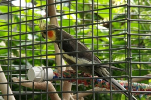 Un beau salut de la perruche callopsite