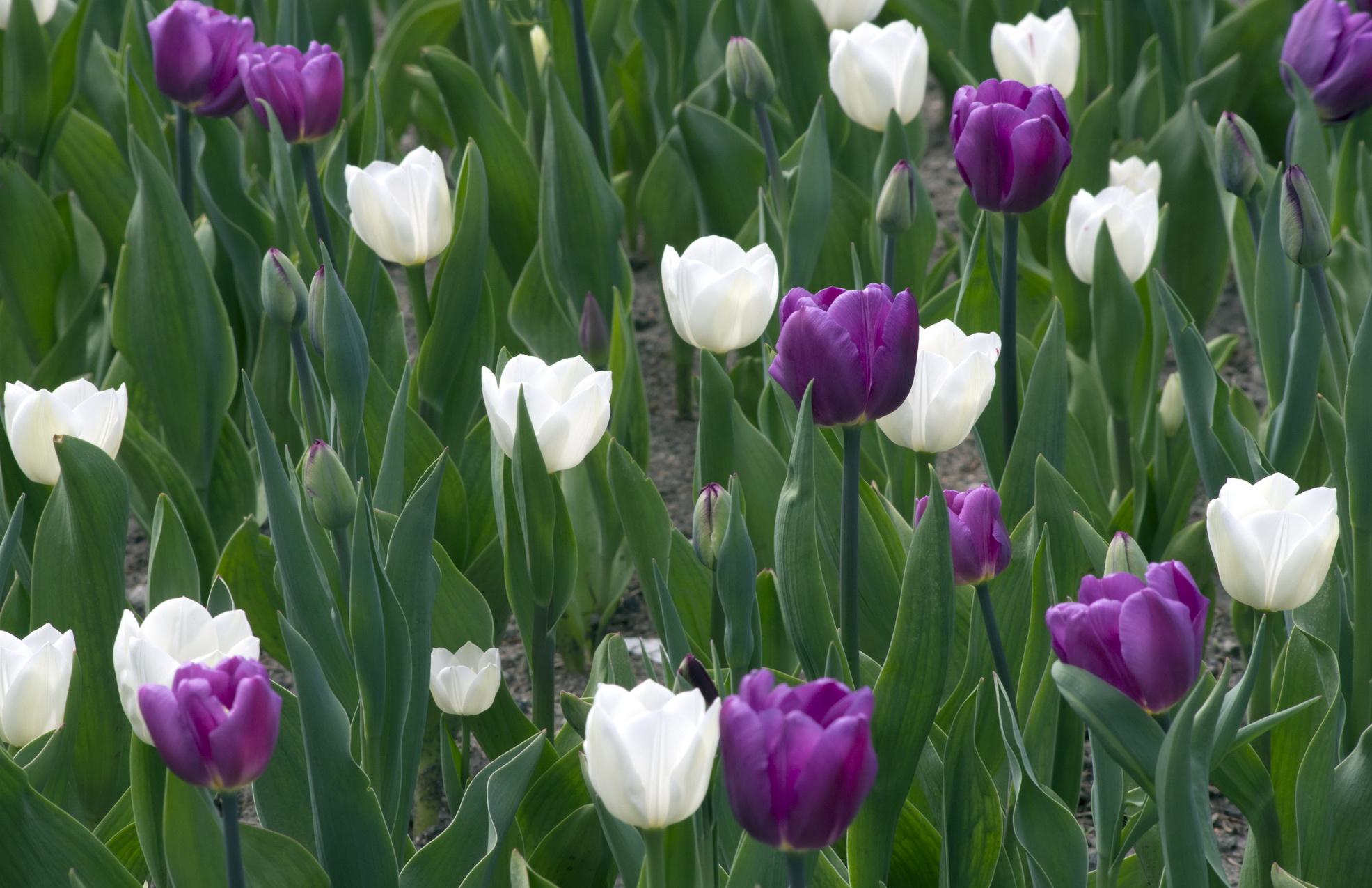 Et si je vous offrais des fleurs les beaut s de montr al for Langage des fleurs