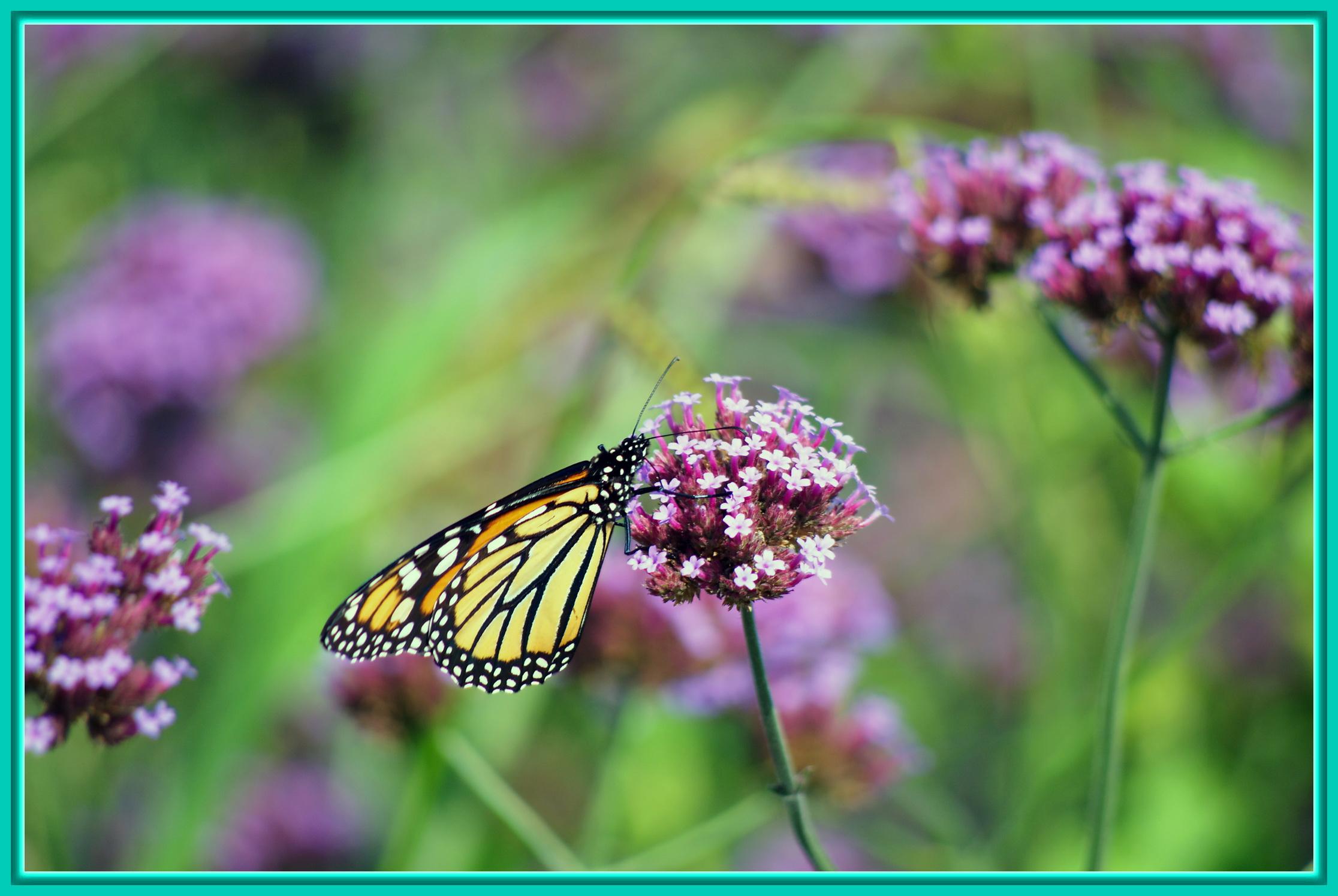Un papillon dans les fleurs les beaut s de montr al for Les fleur