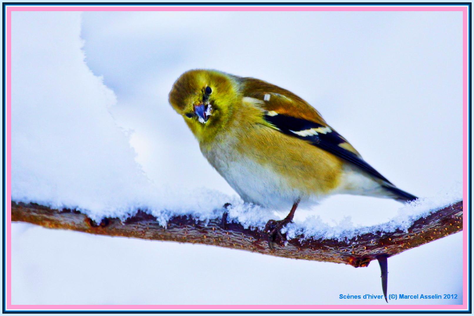 L hiver chez marcel les beaut s de montr al for Oiseaux des jardins en hiver
