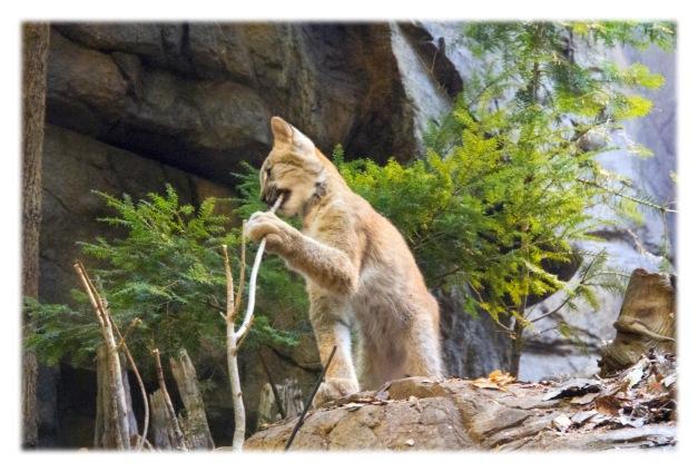 Un chaton lynx est né dans la nuit du 26 au 27 mai, en pleine santé, au Biodôme de Montréal