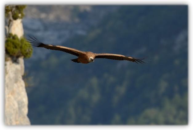 Excursion du photographe suisse Roland Clerc dans les Alpes suisses à la recherche des grands vautours