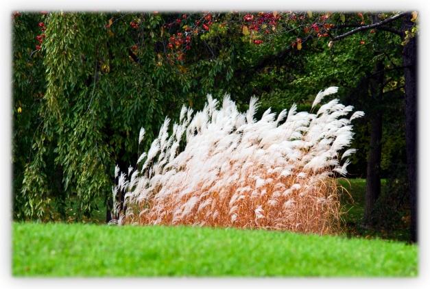Le feuillage des graminées ornementales, de type linéaire, contraste par leur forme avec les autres plantes du jardin