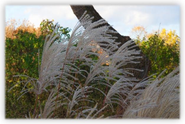 Les fleurs des graminées ornementales, qui se présentent en général sous forme de longs épis parfois plumeux, apparaissent à l'automne