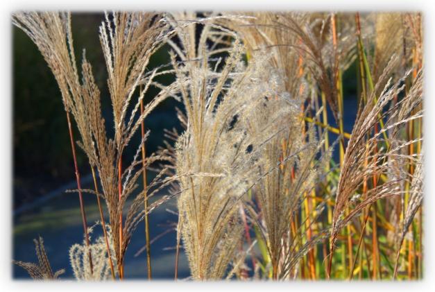 Les graminées ornementales apportent au jardin une touche gracieuse et légère, près d'un coin repos ou d'un jardin d'eau, par le bruissement et le balancement de ses feuilles et de ses épis