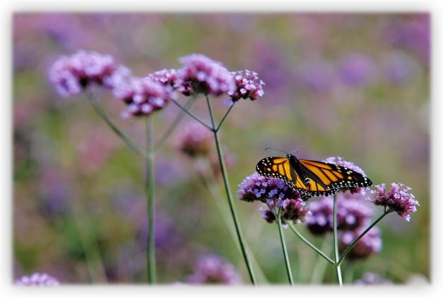 Sur une fleur, un papillon monarque butine dans un jardin de fleurs