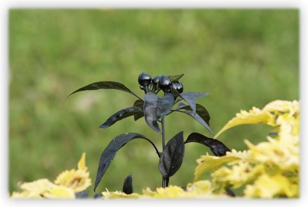 Le piment ornemental, noir, appelé aussi capsicum annuum ou black pearl