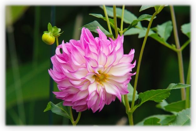 Le nom de Dahlia rend hommage au botaniste suédois Anders Dahl