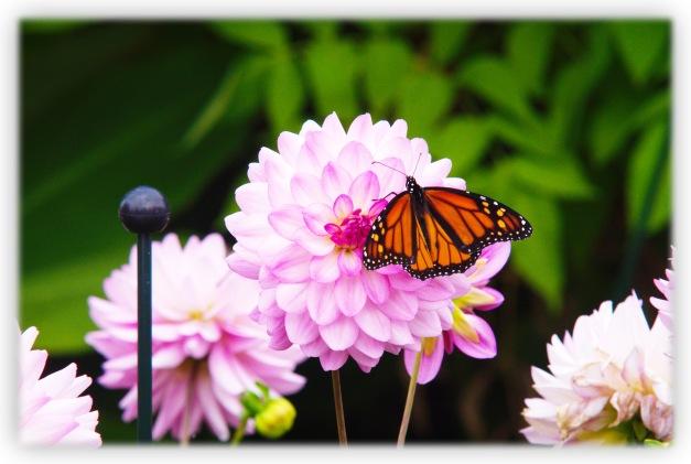 Le papillon monarque semble aimer butiner au royaume des dahlias