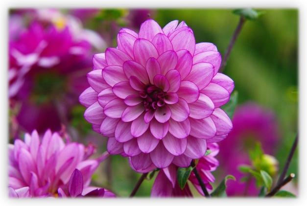 Une fleur aux mille coloris qui enjolivent les jardins et dénouent les angoisses en apaisant l'esprit