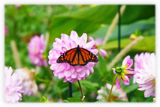 Le dahlia est une magnifique fleur à bulbe