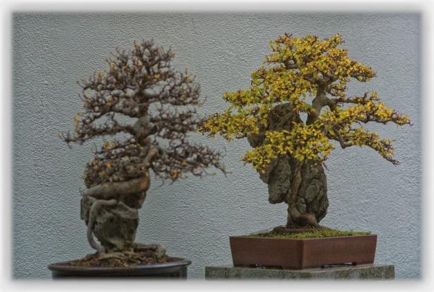 La lumière des bonsaïs